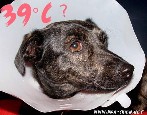 39 temperature chien
