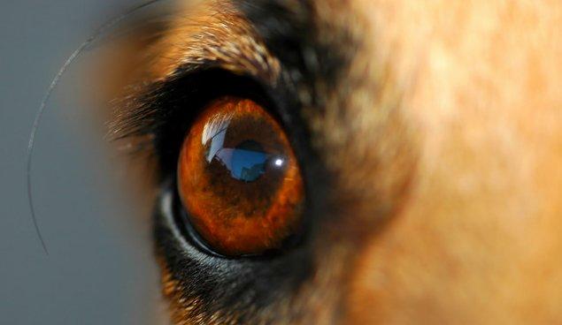 oeil chien