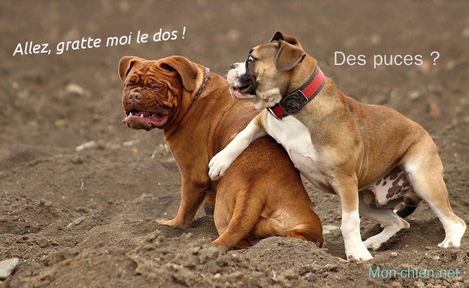 chien et puces