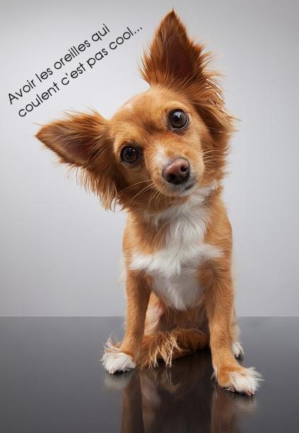 oreilles coule chien
