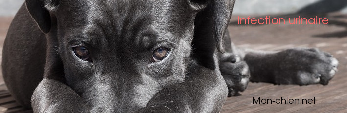 infection urinaire chez un chien