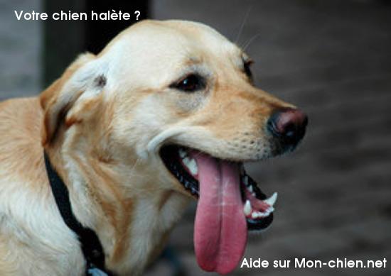 Mon chien halète : pourquoi ?