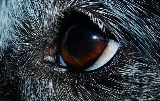 Mon chien a un œil fermé
